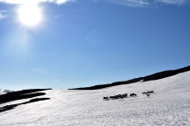 Reindeer herd on snow patch, Abisko, Lapland